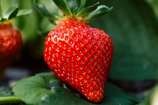 Ruszył sezon na polskie truskawki. Jak je odróżnić od importowanych?