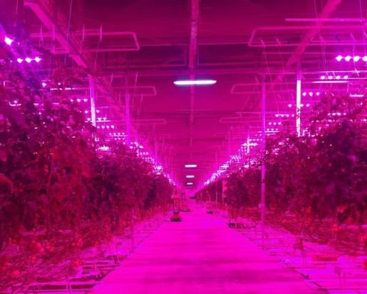 Lampy LED z Polski oświetlają uprawy pomidora w Kazachstanie