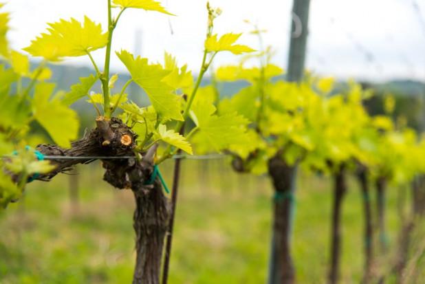 Meloidogyne vitis  – nowy pasożyt zagrażający winorośli