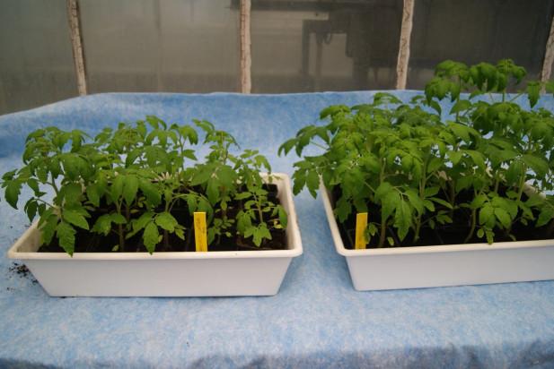Jakie mikroorganizmy hamują rozwój chorób odglebowych pomidora?