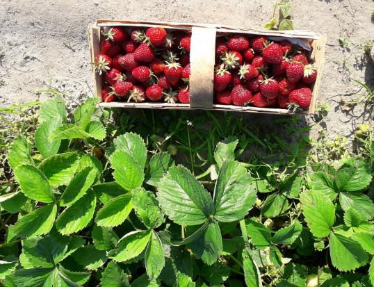 Przez przymrozki ceny truskawek w tym sezonie znacznie wzrosną?