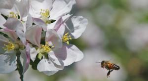 Ochrona pszczół: 9 wymogów dla stosujących środki ochrony roślin