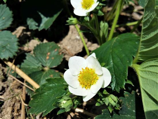Kwitnienie truskawek - czym zwalczać szarą pleśń i antraknozę?