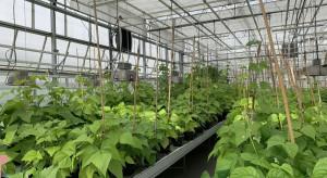 Powstaną odmiany fasoli odporne na choroby i tolerancyjne na suszę?