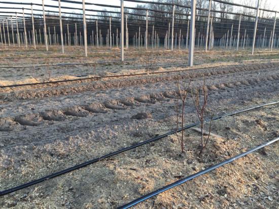 Jak przebiega wegetacja na plantacjach borówki?