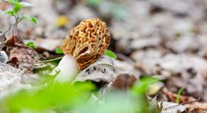 Pierwsze grzyby w lasach. Nie można zbierać tych nieznanych