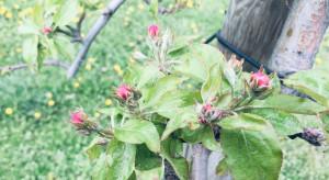Wskazana dalsza ochrona przed parchem jabłoni