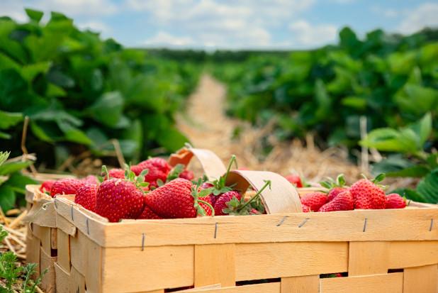 GieldaRolna.pl: sprawne zakupy środków do uprawy truskawek