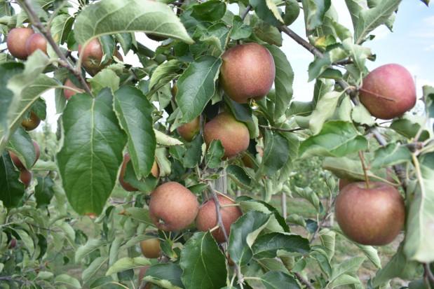 Europejskie mrozy a produkcja jabłek w Polsce - jakie prognozy?