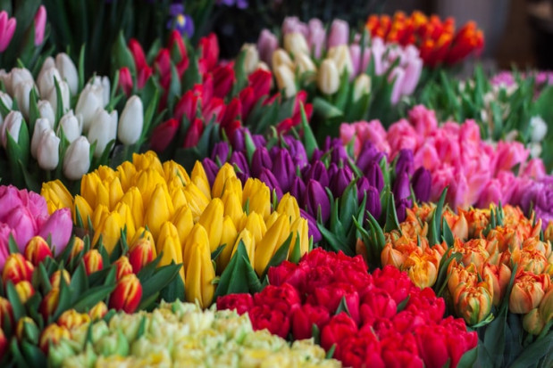 Holandia: Tulipany droższe z powodu pandemii i mokrej zimy