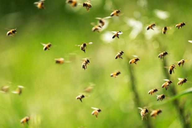 Holandia: Wyszkolone pszczoły wykrywają koronawirusa
