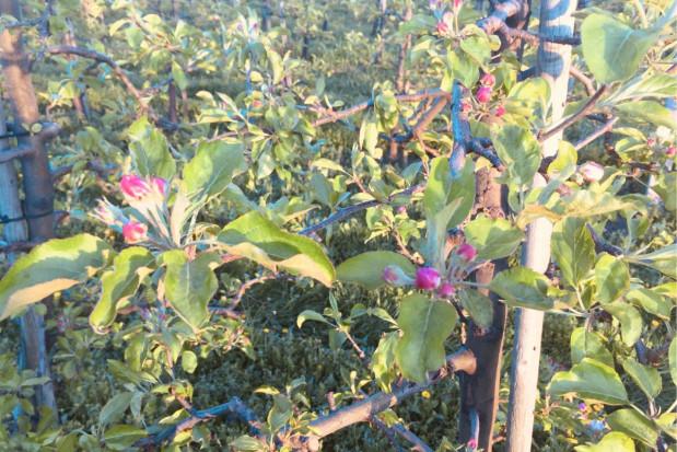 Zwójki, mszyce, parch i mączniak - ochrona przed kwitnieniem jabłoni