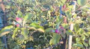 Zwójki, mszyce, parch i mączniak - ochrona przed kwitnieniem