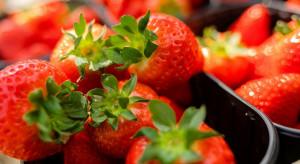 Truskawkowe przekręty. Handlujący oferują importowane owoce jako polskie