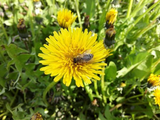 Pszczoły mają mniej pokarmu. KRIR apeluje o niekoszenie trawników
