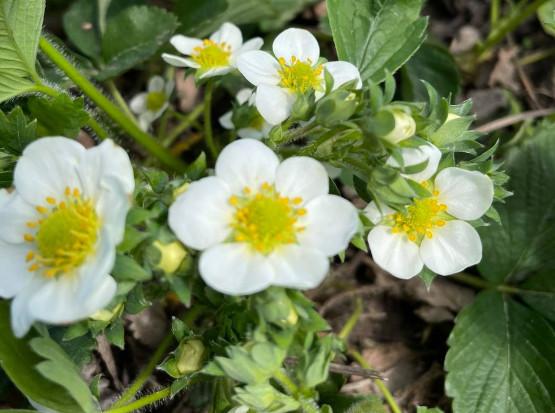 Ochrona truskawek - jakie zagrożenia w okresie kwitnienia?