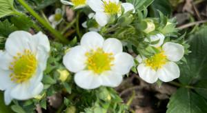 Szara pleśń, antraknoza i szkodniki - ochrona truskawek w kwitnienie