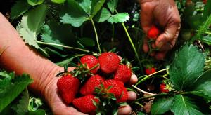 Kiedy rozpoczną się zbiory podlaskich truskawek ?