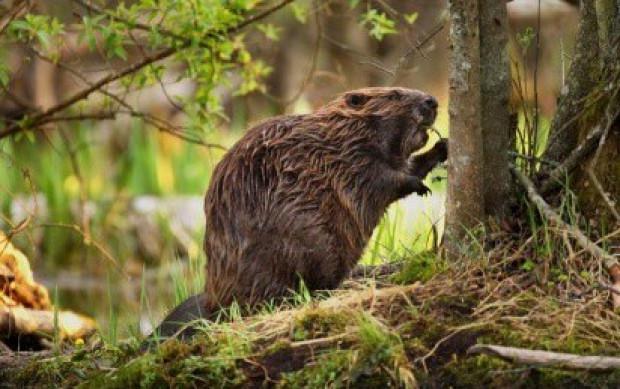 Będzie wypłata odszkodowań za drzewka uszkodzone przez bobry?
