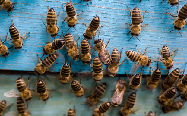 Rolnikowi grozi 8 lat więzienia za otrucie ponad 7,5 mln pszczół