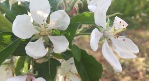 Kwitnienie i zawiązywanie jabłoni - jaka strategia nawożenia azotem?