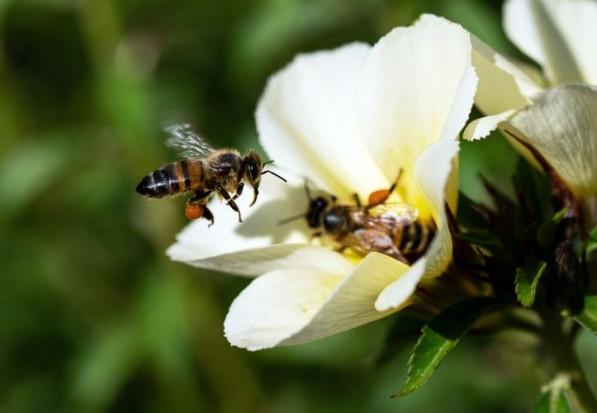 20 maja przypada Światowy Dzień Pszczół