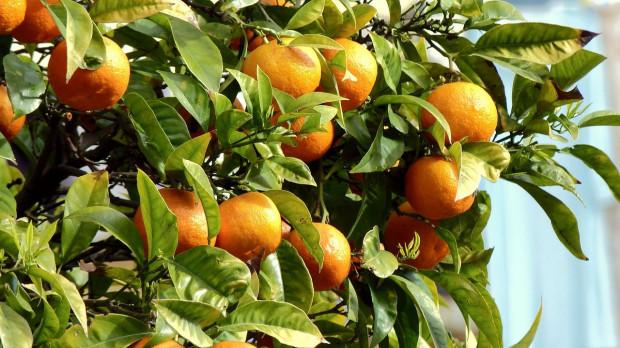 Brazylia: Światowy rynek pomarańczy zagrożony przez suszę