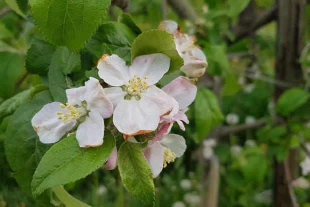 Kwitnienie jabłoni i grusz a niekorzystne warunki pogodowe