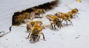 Kanada: neonikotynoidy ograniczone ze względu na pszczoły, ale nie zakazane