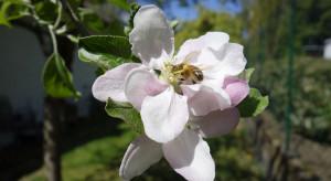 Wiosenna aura nie sprzyjała pszczołom