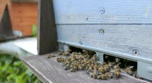 Wielkopolskie: Trwa śledztwo ws. masowego zatrucia pszczół