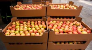 Spadają ceny jabłek na sortowanie. Idared i Gloster najtańsze