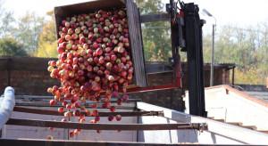 Wareckie: jakie ceny jabłek przemysłowych?