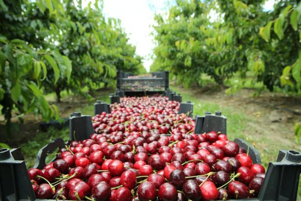 Włoscy producenci czereśni protestują. Ceny owoców są zbyt niskie