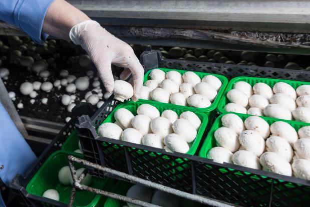 Polacy są ekspertami w uprawie pieczarek (wywiad)