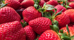 Ceny truskawek w Nowym Przybojewie drastycznie spadły
