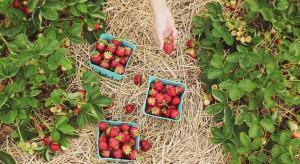 Samozbiory - plantatorzy zapraszają konsumentów na pola