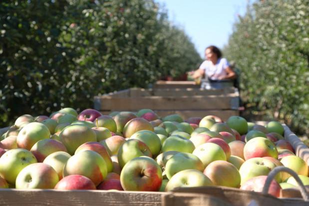 Niemcy: Zbiory jabłek będą opóźnione