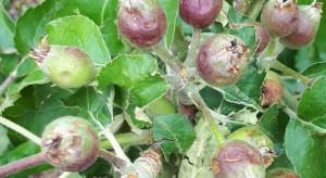 Stary Sącz: Grad doszczętnie zniszczył sady jabłoniowe