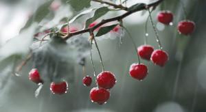Ukraina: nawet 80 proc. strat w uprawach czereśni po ulewnych deszczach