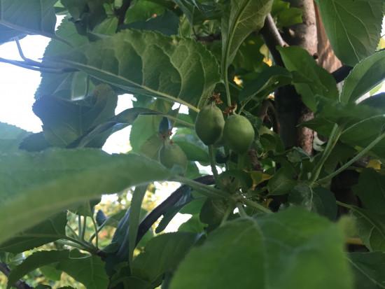 Mszyce, owocówka, zwójki, przędziorki i pordzewiacze - zwalczanie w czerwcu