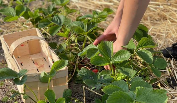 Holandia: Mniej pracowników sezonowych z Polski do pracy w rolnictwie
