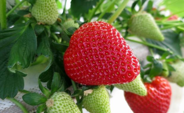 Podlaskie: plantatorzy truskawek pełni optymizmu