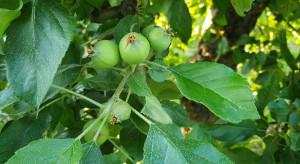 Owocówka jabłkóweczka - jaka strategia zwalczania?