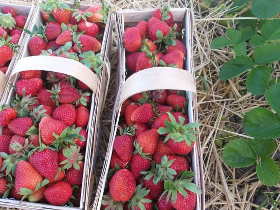 Podlaskie: plantatorzy rezygnują z uprawy truskawek