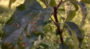 Parch jabłoni: niebezpieczna sytuacja w sadach. Czym interweniować?