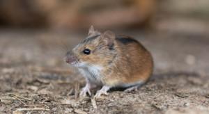 Australia: rolnicy walczą z rekordową plagą myszy