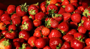 Grójeckie: Ruszają skupy truskawek - jakie ceny?