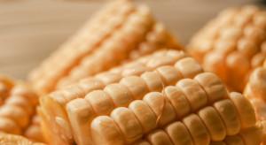 Przetwórca kolb kukurydzy inwestuje 15 mln zł w nowy zakład we Włocławku