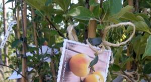 Stare odmiany jabłoni na terenie Nadleśnictwa Gryfino